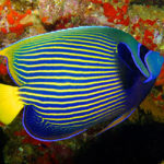 emperor-angelfish